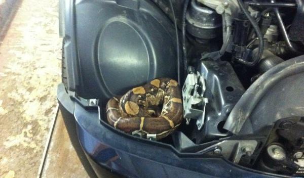 Una boa bajó el capó de un coche