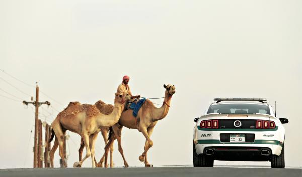 Camellos y Shelby Mustang en Dubai