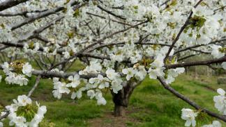 Cerezos en flor en el Valle del Jerte, en Extremadura