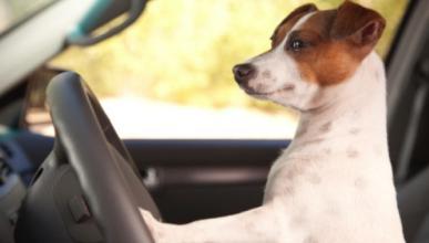 Perros abandonados aprenden a conducir