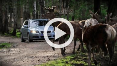 Vídeo: atropella a dos ciervos y es arrastrada por su coche