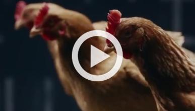 Mercedes explica su suspensión con gallinas