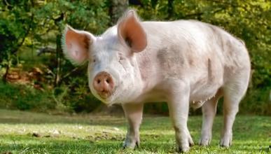 Un cerdo escapa de un camión en marcha