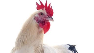 Detenido por conducir borracho y con 100 pollos en el coche