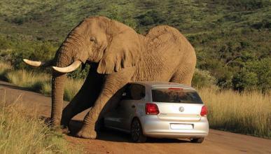 Un gigantesco elefante se rasca contra un Volkswagen Polo