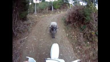 Vídeo: una cabra golpea a un motorista y le tira de su moto