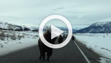Vídeo: un bisonte ataca en un coche en un parque natural