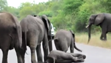Dos elefantes cortan la carretera para...