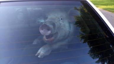 El cerdo 'detenido' en un coche de policía