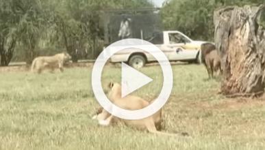 Muere devorada por un león que se coló en su coche