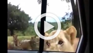Vídeo: un león abre la puerta de un coche durante un safari