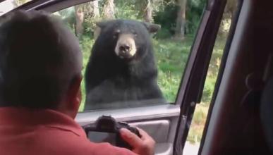 Vídeo: un oso abre la puerta de un coche en Yellowstone