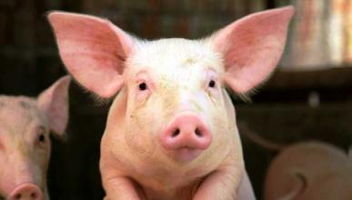 Lo último: caca de cerdo para construir carreteras