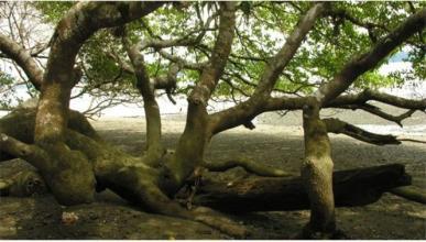 El árbol de la muerte.