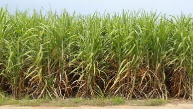 Hacen biodi sel barato con ca a de az car tecnolog a for Que son cultivos asociados