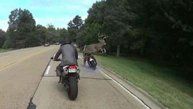 Vídeo: un ciervo casi derriba a un motorista