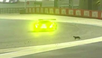 Un gato en el Circuito de Bahréin