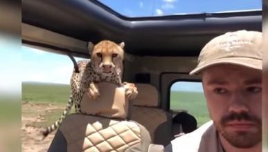Un guepardo en el coche