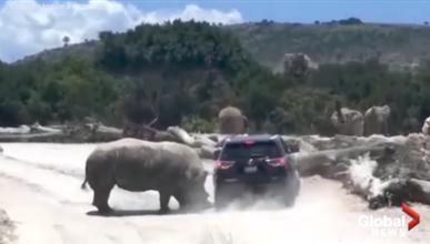 Un rinoceronte gigante embiste a un SUV en un safari park