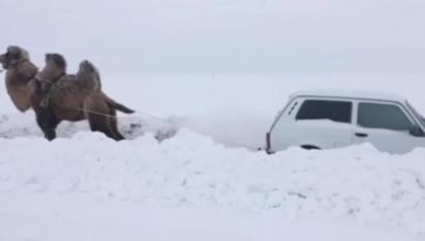 Nieve camello