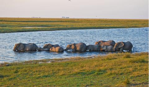 Elefantes rio Chobe