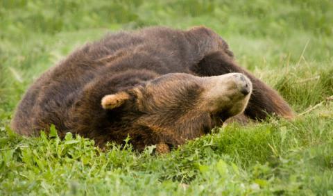 Atropella a un oso tras esquivar a un alce