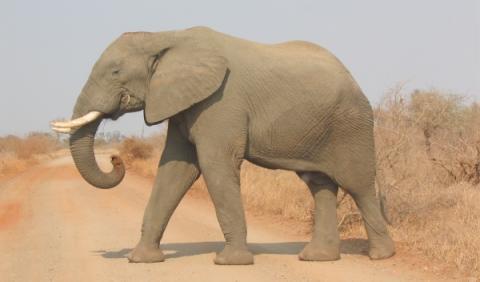 Un elefante destroza un coche en un safari