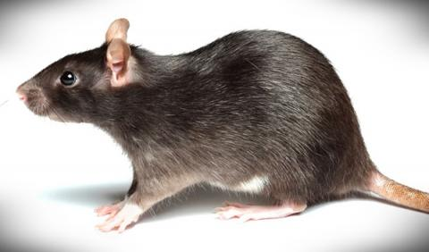 Lo que sucede cuando una rata se aloja en tu coche