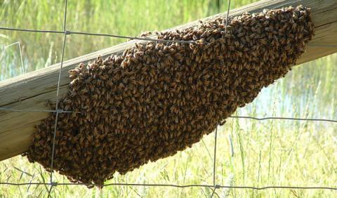 De terror: un Micra aparece cubierto por 20.000 abejas