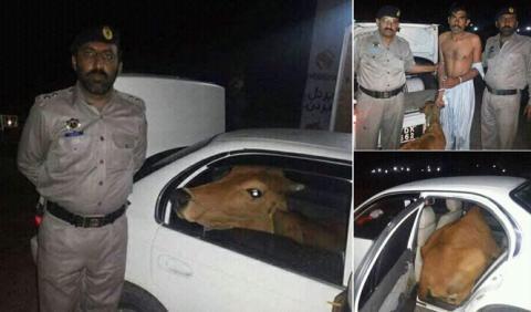 Cazado con… ¡dos vacas dentro de su coche!