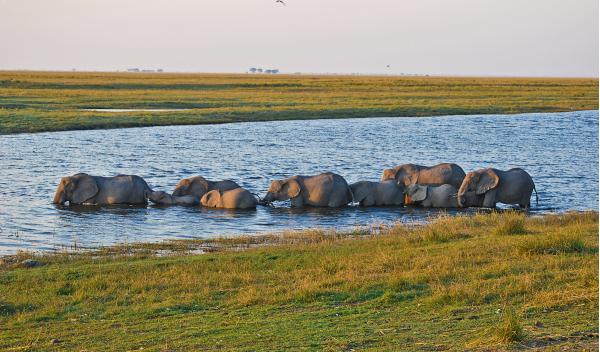 elefantes río Chobe