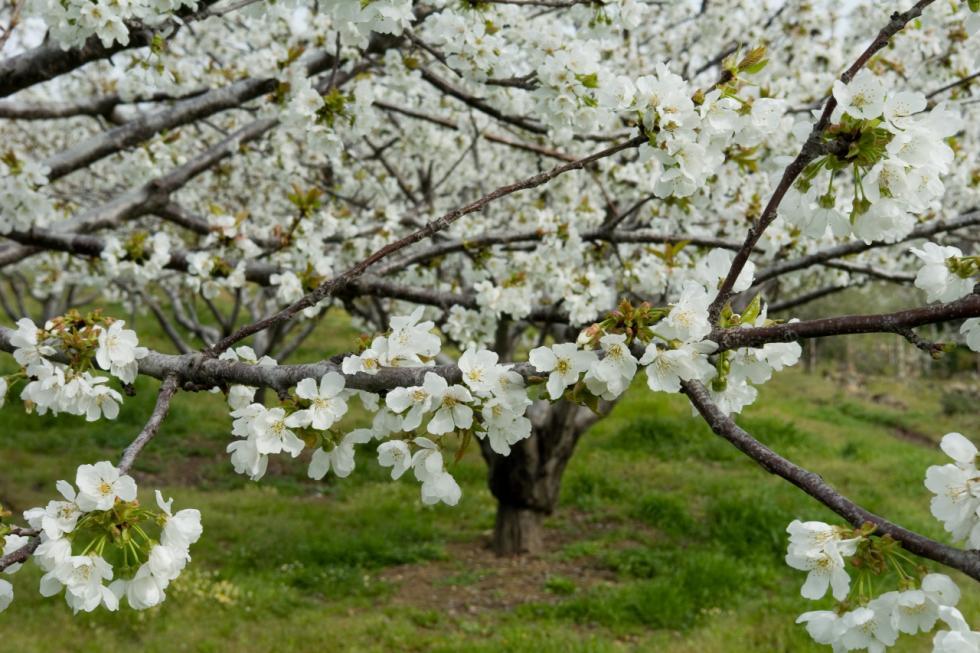 Cerezos en flor de Valle del Jerte.