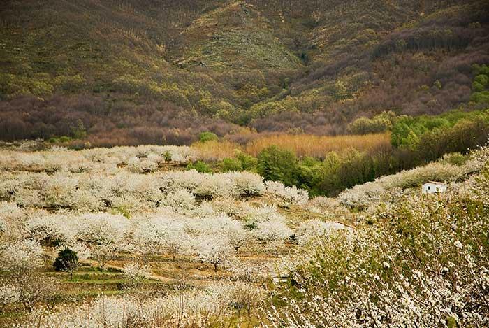 Cerezos en Flor de Valle del Jerte