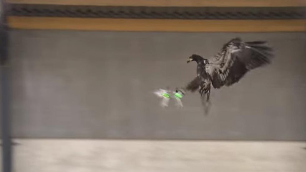 aguila vuelo cazar drone ilegal
