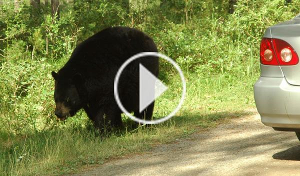 Un oso, atropellado por un coche en una carretera rusa