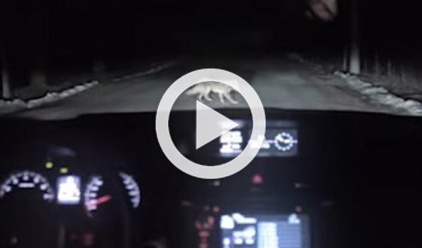 Un perro finge un atropello para robar un coche