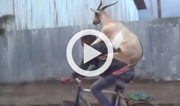Una cabra, de copiloto en una bicicleta