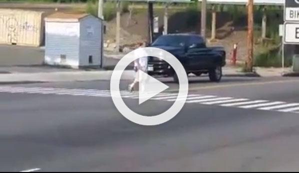 Policías encubiertos cruzan pasos de cebra para multar