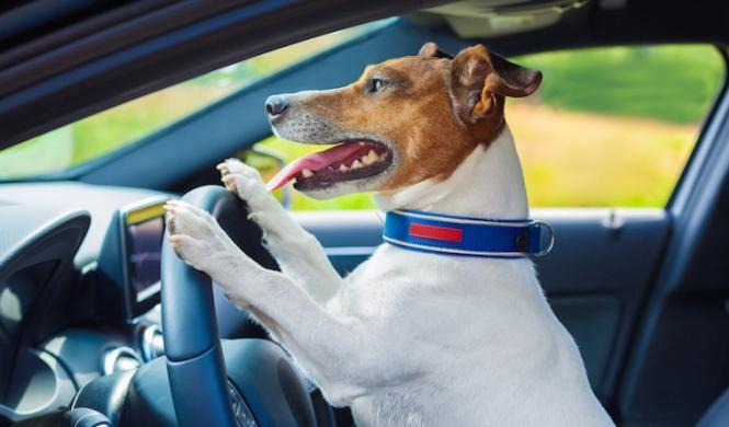 Paran a un conductor ebrio y dice que conducía su perro