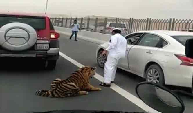 Vídeo: un tigre, suelto por una carretera de Qatar