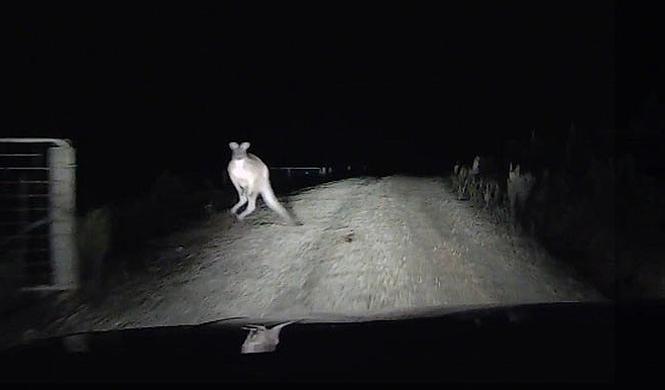 Un canguro ataca a un conductor en Australia